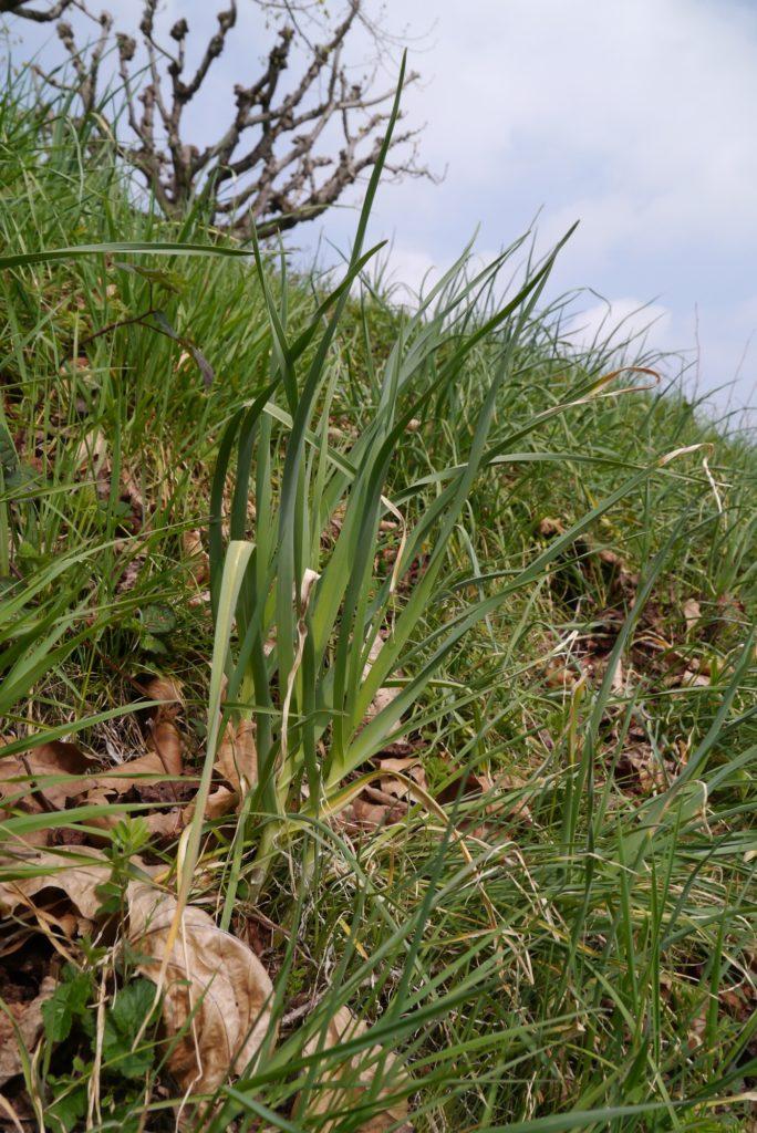 Le poireau sauvage, ou poireau perpétuel, dans son environnement naturel